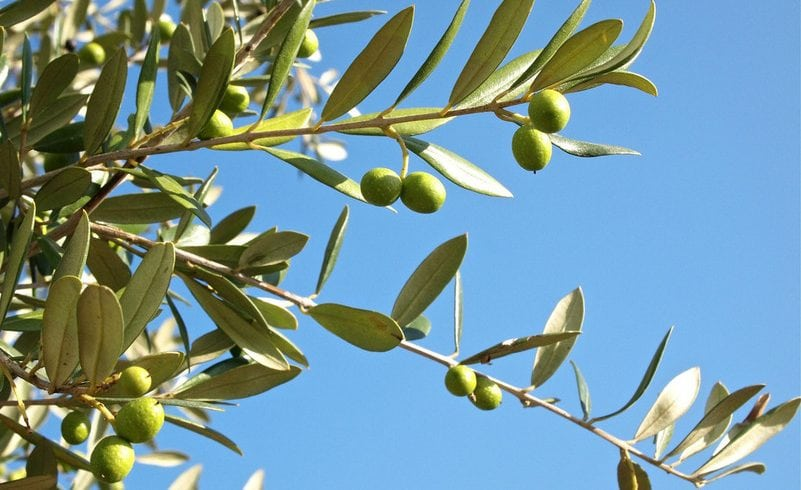 Olive production in the European Union Standards, Technical Investigation of Harvest and Marketing Project