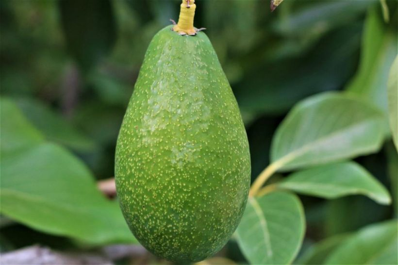 Avocado Growing Visit in Erdemli